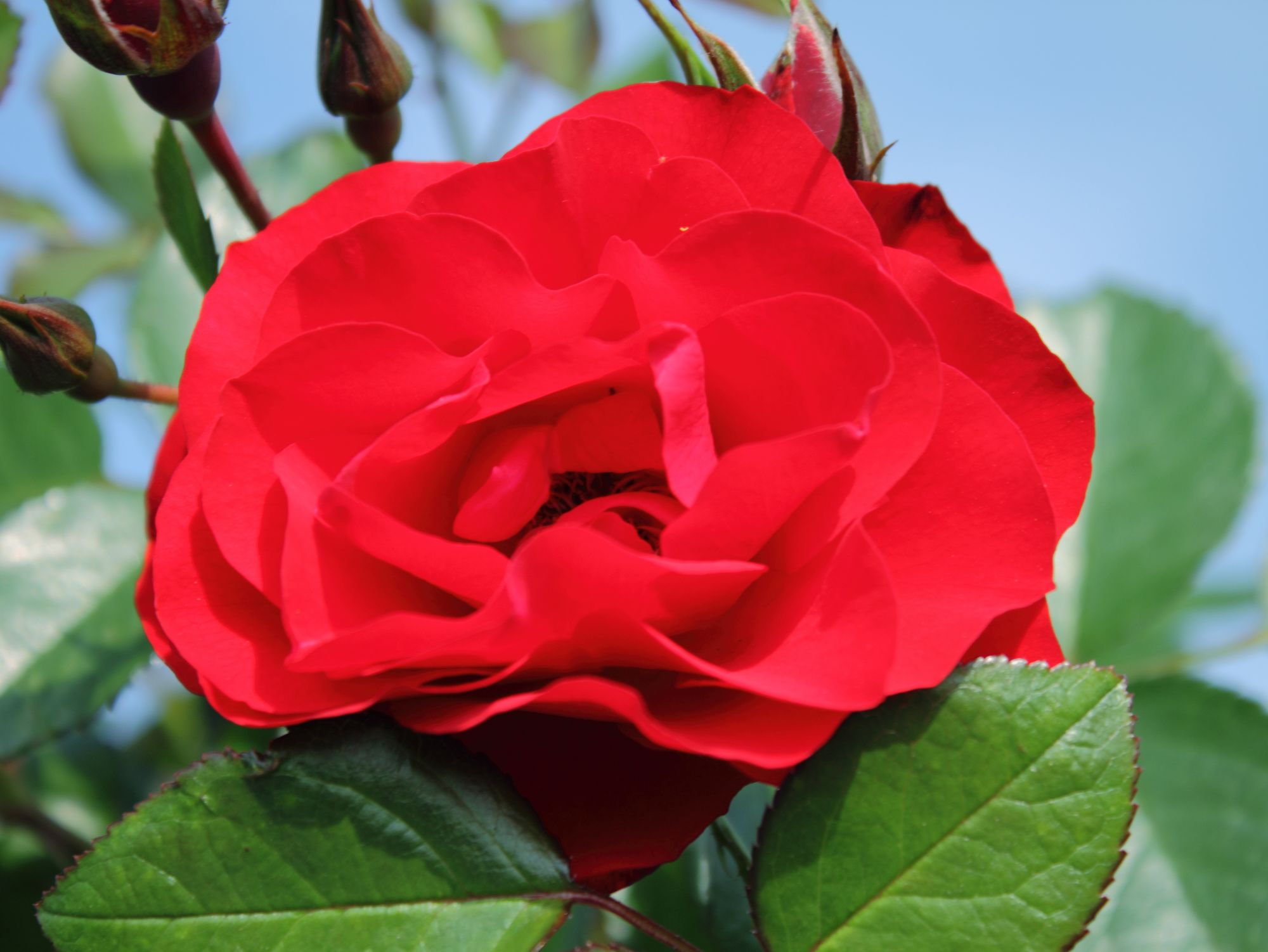 Black Forest Rose® (ADR)